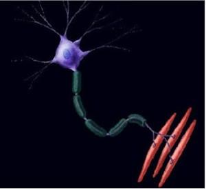 motoneurona